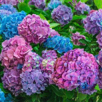 4 in. Pot L.A. Dreaming Hydrangea Blue or Pink Flowers Live Deciduous Shrub (1-Pack)