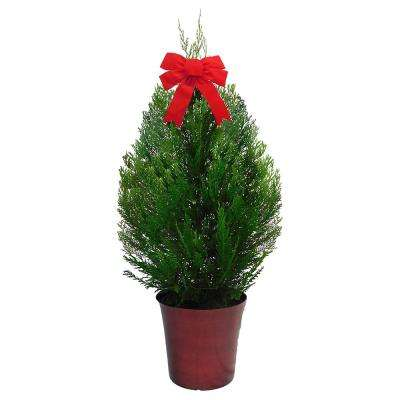 3 Gal. Leyland Cypress Evergreen Shrub with Green Foliage in a Decorative Pot with Bow