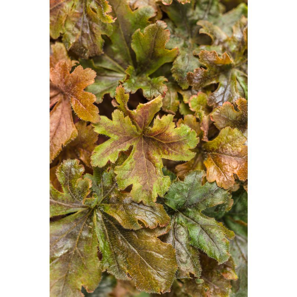 Fun and Games Hopscotch Foamy Bells (Heucherella) Live Plant, Bronze Red Foliage, 0.65 Gal.