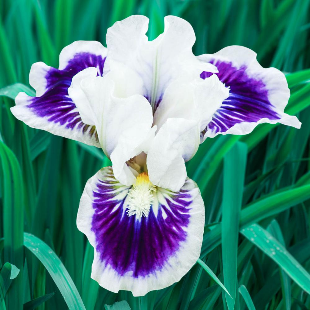 Riveting Dwarf Bearded Iris White and Purple Flowers Live Bareroot Plant