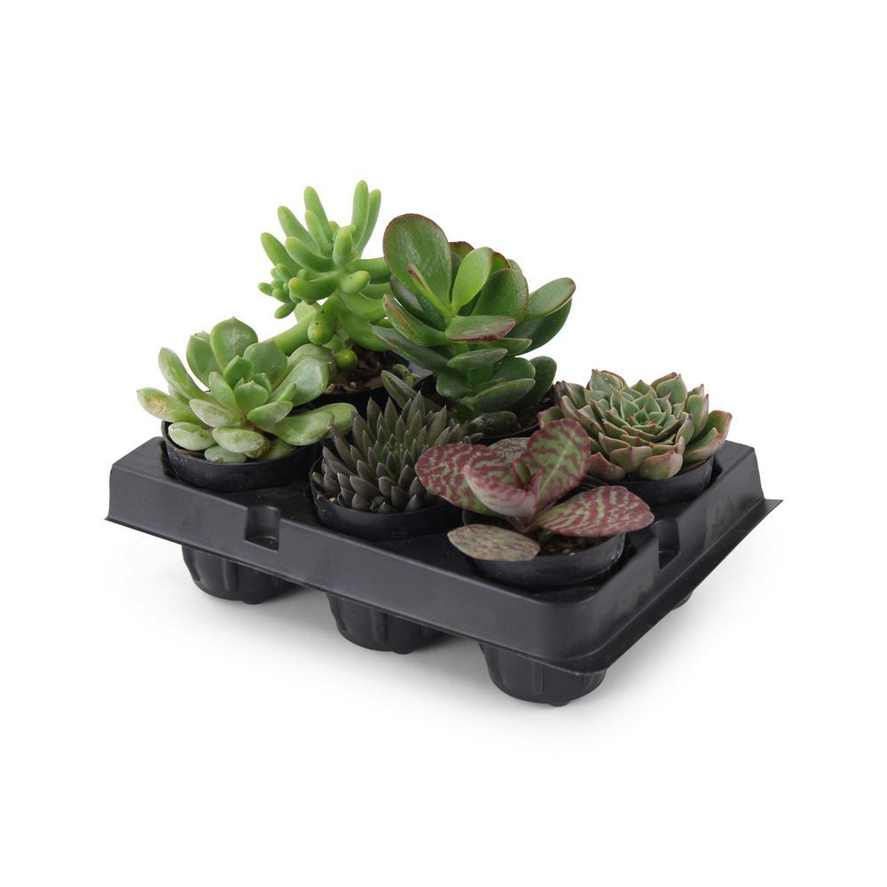 1.75 in. Succulent Mix (6-Plants) (6-Pack)
