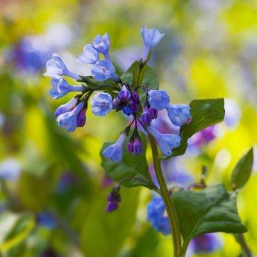 Woodland Plant Virginia Blue Bells Roots (Set of 3)