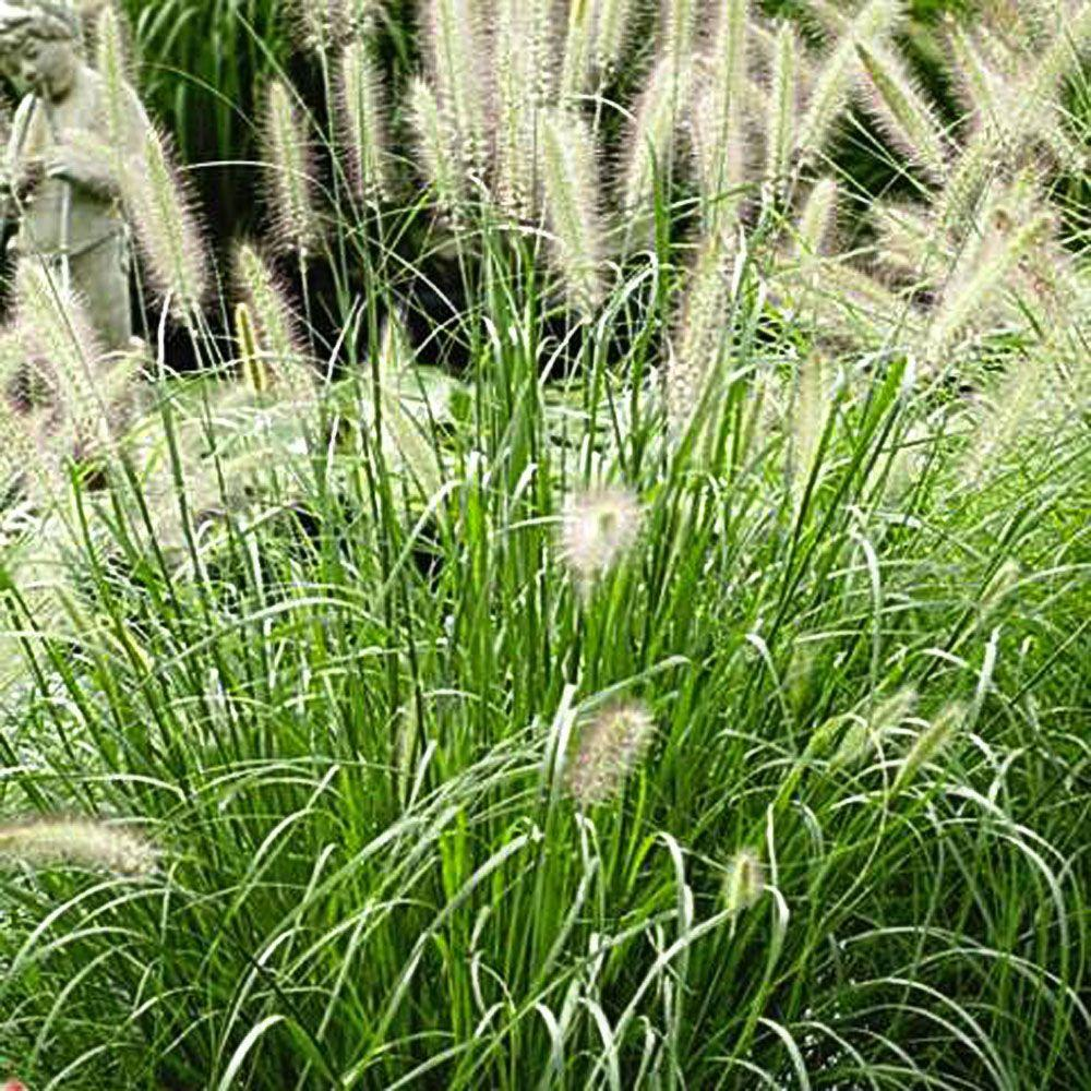 Onlineplantcenter 1 gal hameln dwarf fountain grass Long grass plants