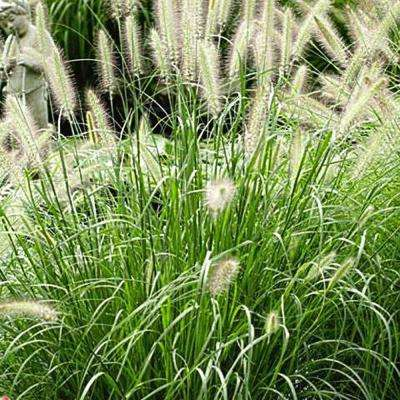 1 Gal. Hameln Dwarf Fountain Grass