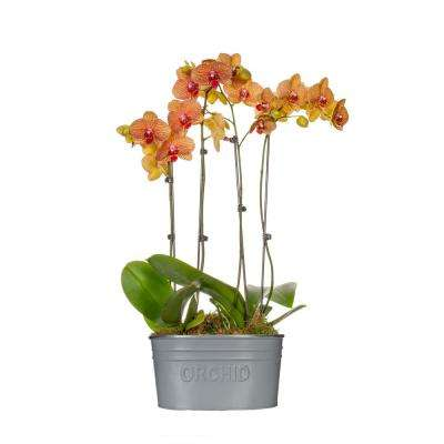 Salmon 10 in. Classic Orchid Duo Plant in Tin Pot (4-Stems)