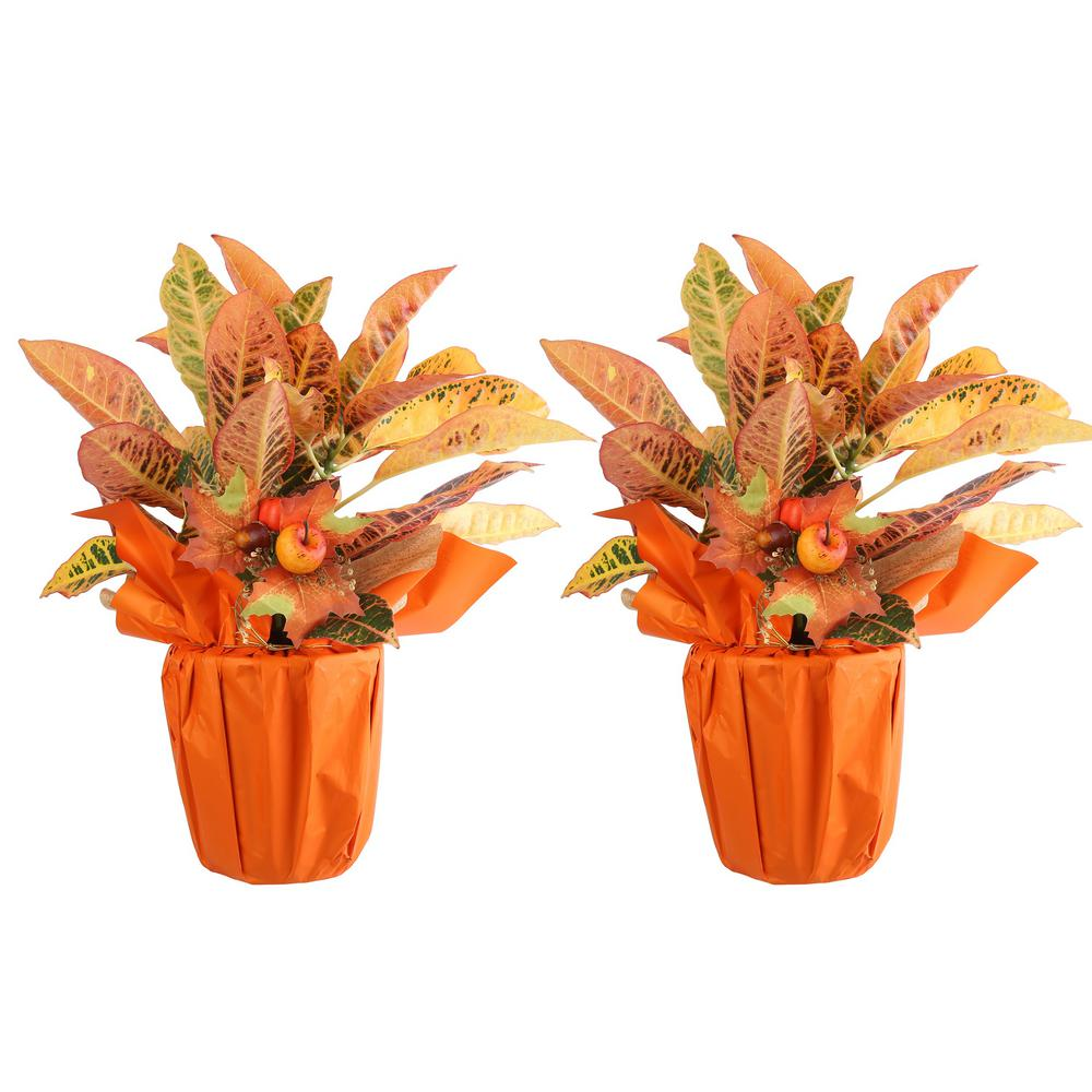 Croton Petra in Fall Wrap with Pick (2-Pack)