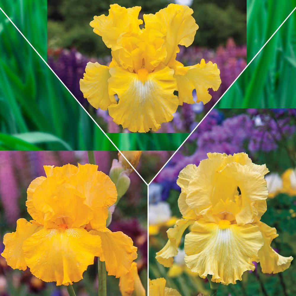 Yellow Flowering Iris Mixture, Live Bareroot Perennials (3-Pack)