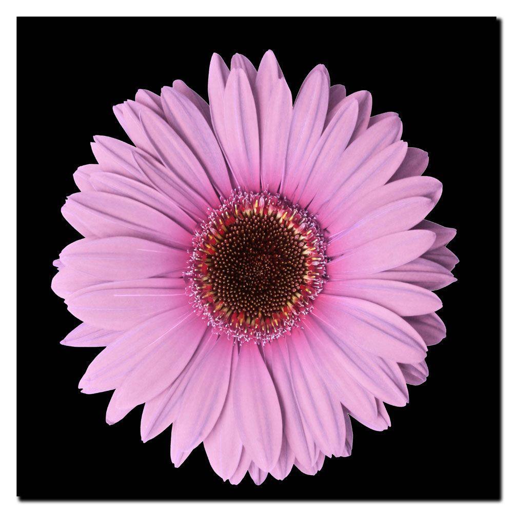 Trademark 24 in. x 24 in. Pink Gerber Daisy Canvas Art