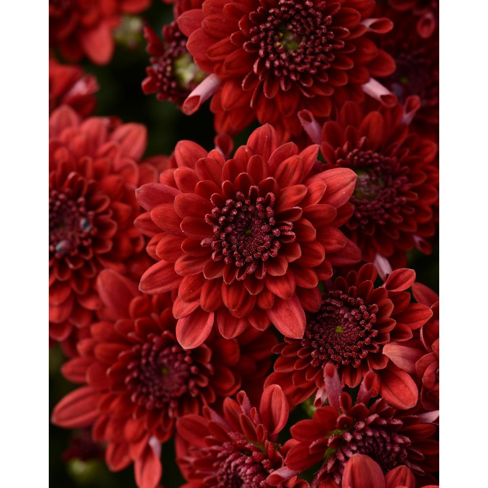 National Plant Network 8 In Red Chrysanthemum Plant With Red Blooms Hd7530 The Home Depot