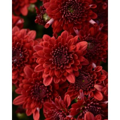8 in. Red Chrysanthemum Plant with Red Blooms