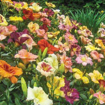 Kitchen Sink Breeder's Mixture Daylilies Roots of 12-Set