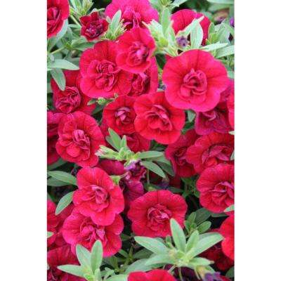 Superbells Double Ruby (Calibrachoa) Live Plant Red Double Flowers 4.25 in. Grande (4-Pack)