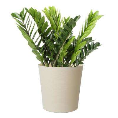 10 in. ZZ in White Paradise Planter