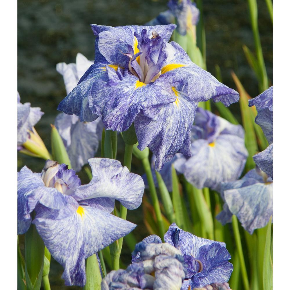 Premium Series Pond Marginal Iris Ensata Eden's Paintbrush Kit