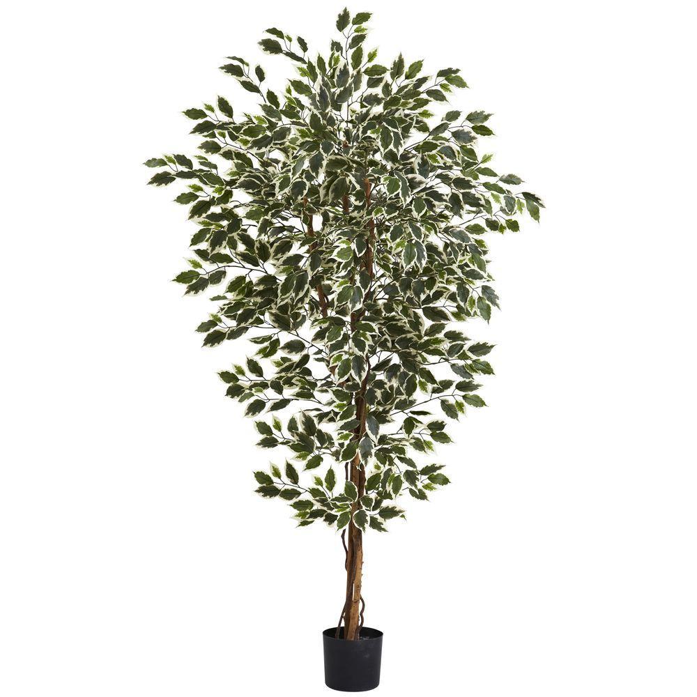 6 ft. Hawaiian Ficus Tree