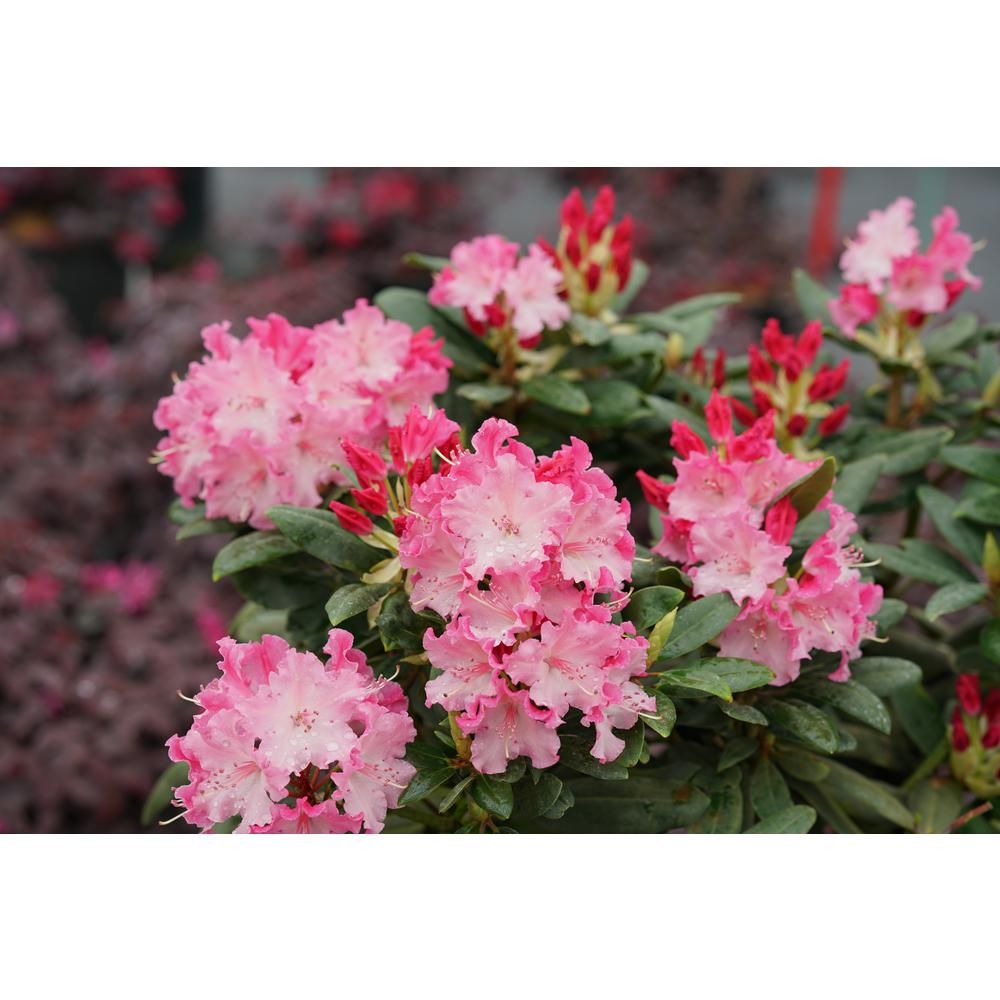 1 Gal Dandy Man Color Wheel Rhododendron Live Plant Pink Flowers