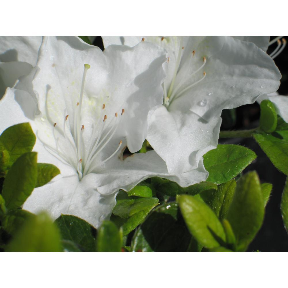 2 Gal. White Azalea Pleasant Plant