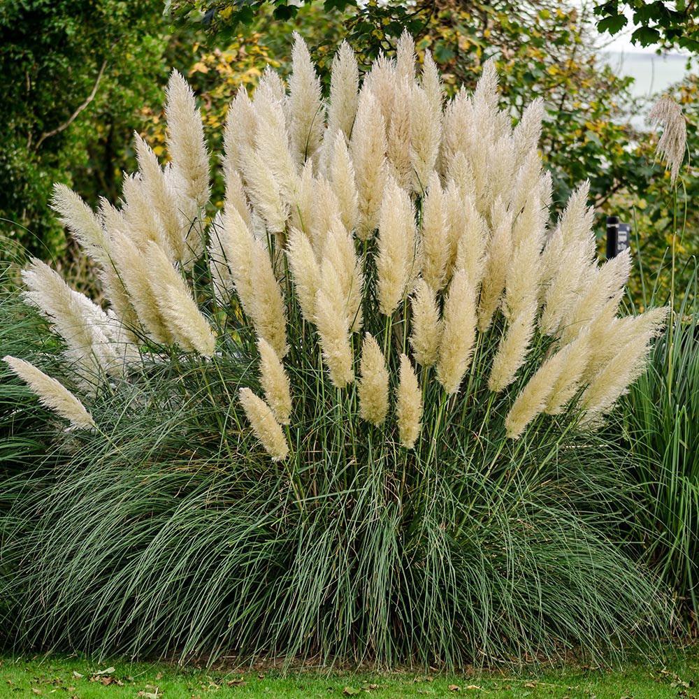 2 5 Qt Pampas Grass Cortaderia Selloana Live Ornamental