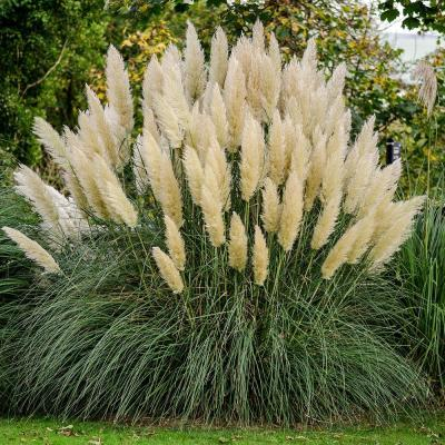 2.5 Qt. Pampas Grass (Cortaderia selloana), Live Ornamental Perennial, Showy White Flower Plumes