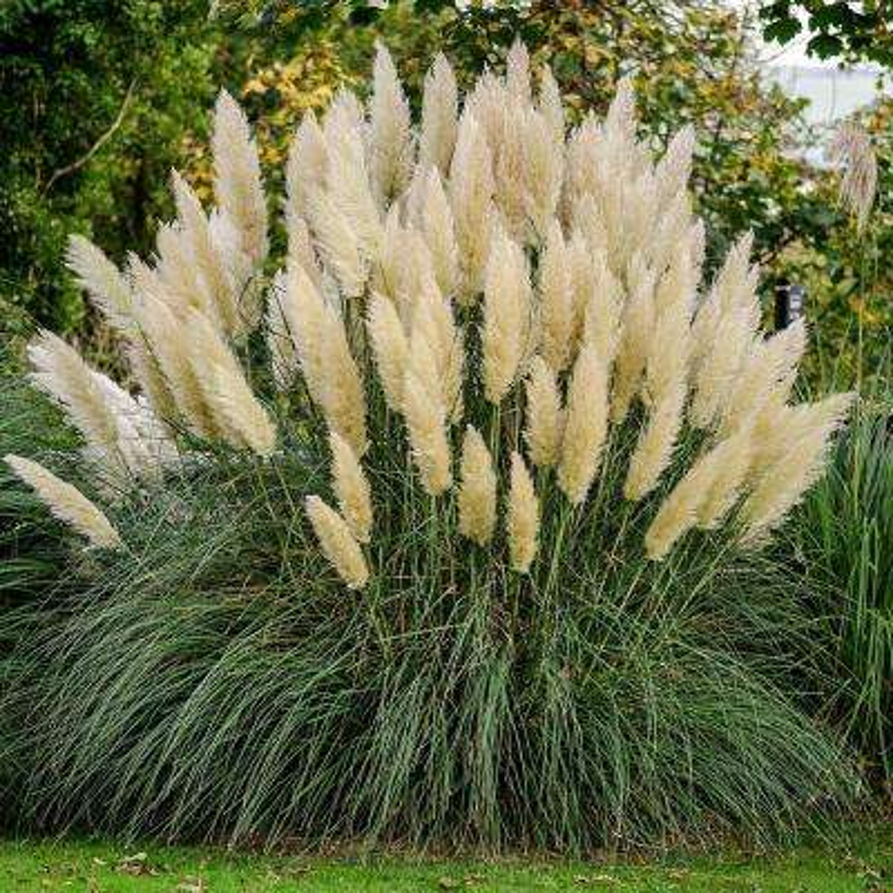 Pampas Grass Ornamental Grasses Plants Garden Flowers The