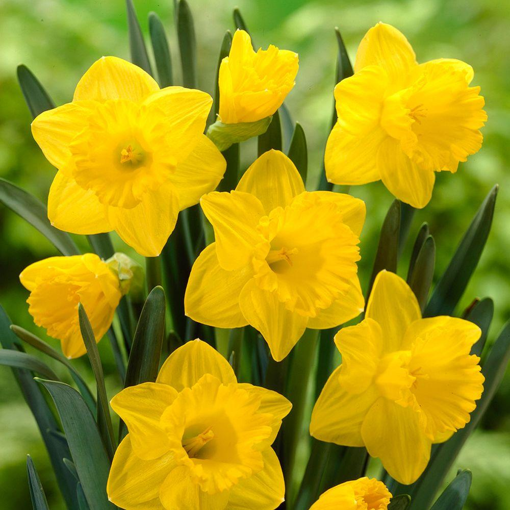 Bloomsz Trumpet Daffodil Dutch Master Flower Bulb 8 Pack 07558
