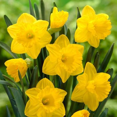 Trumpet Daffodil Dutch Master Flower Bulb (8-Pack)