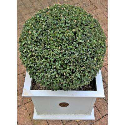 1 Gal. Green Velvet Boxwood Shrub Beautiful Fine Texture, Natural Rounded Form, Evergreen