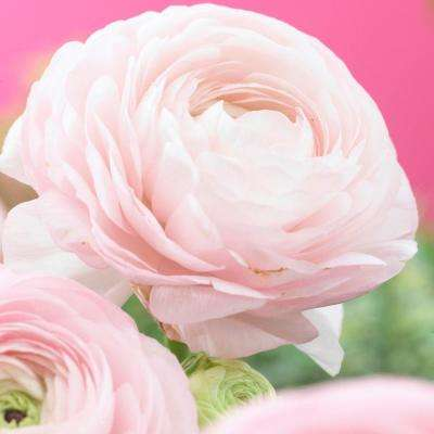 Butter Cups Ranunculus Double Pink Bulbs (Set of 25)