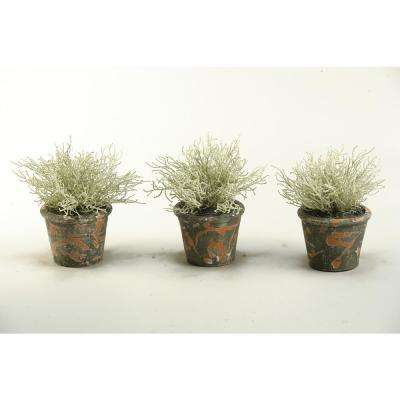 Indoor Santolinia Bush in Terra Cotta Pot (Set of 3)