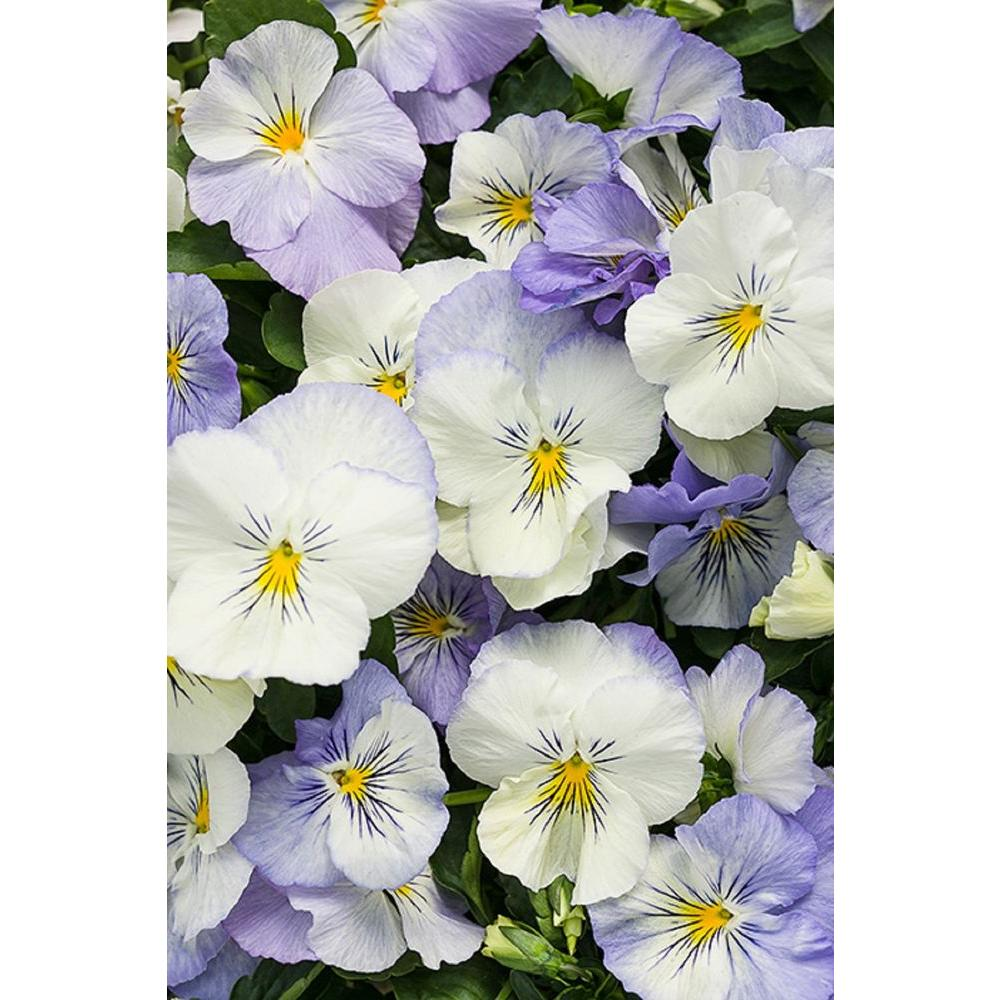 Pansy annuals garden plants flowers the home depot anytime quartz pansiola viola live plant lavender white and gold flowers izmirmasajfo Images