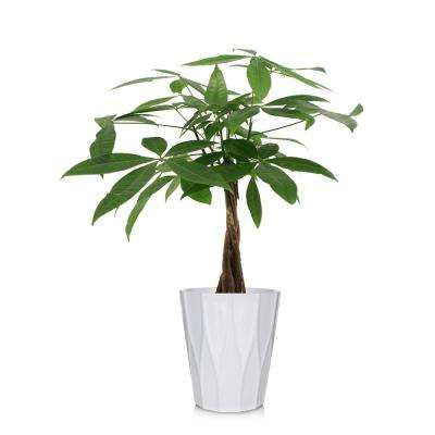 Green 5 In Money Tree Plant Ceramic Pot