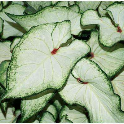 4.5 in. Quart Heart to Heart White Wonder (Caladium) Live Plant in White Foliage
