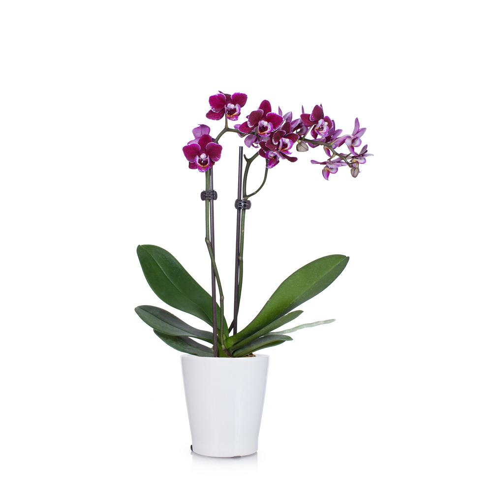 Just Add Ice Purple 3 in. Holiday Orchid Plant in Ceramic Pot