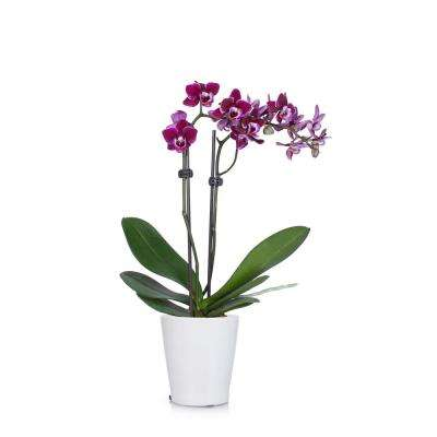 Purple 3 in. Holiday Orchid Plant in Ceramic Pot