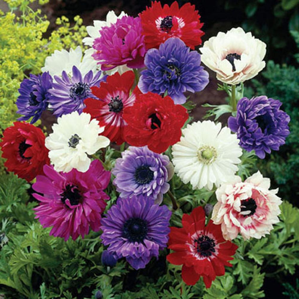 Wind Flowers Anemones St. Brigid Mixed Bulbs (Set of 25)