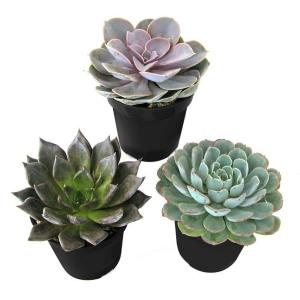 9 cm. Assorted Desert Rose Echeveria Succulent Plant (3-Pack)