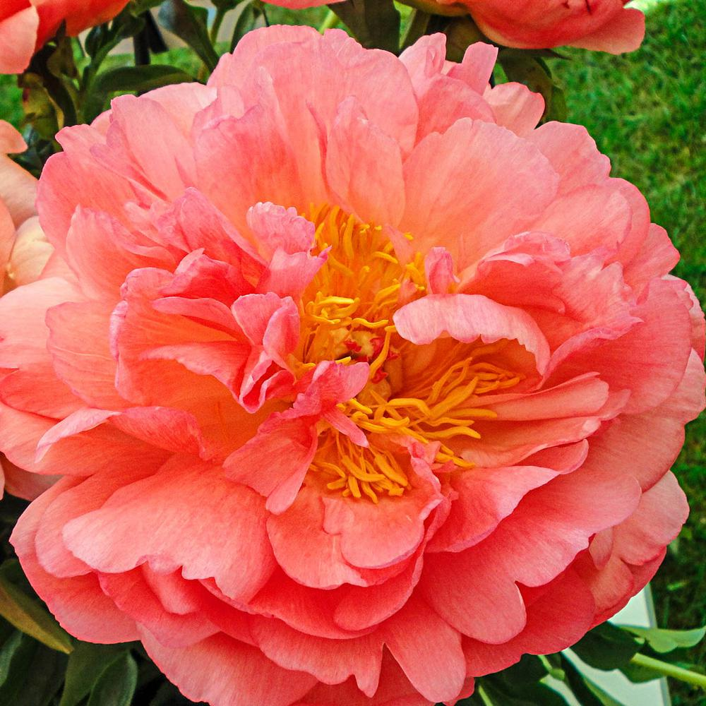 Spring Hill Nurseries Coral Flowers Coral Sunset Peony Paeonia