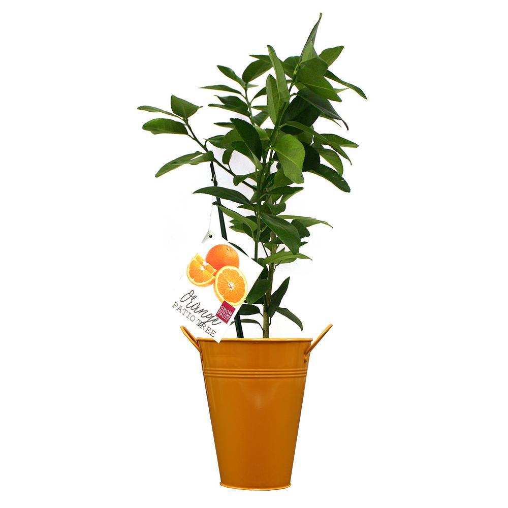 Orange Navel Citrus Tree  In Decorative Patio Planter
