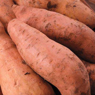Sweet Potato Centennial (12 Bare Root Plants)