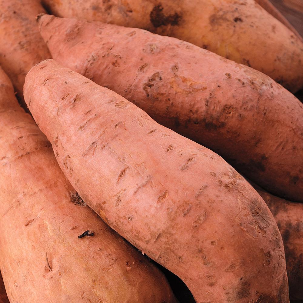 Sweet Potato Centennial Bareroot Plant (12-Pack)