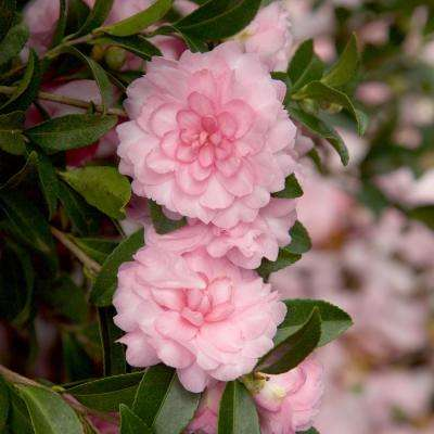 2.5 Qt. October Magic Pink Perplexion Camellia Shrub with Soft Pink Double Blooms