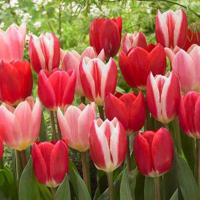 Tulips Bulbs Candy Striper Blend (Set of 15)
