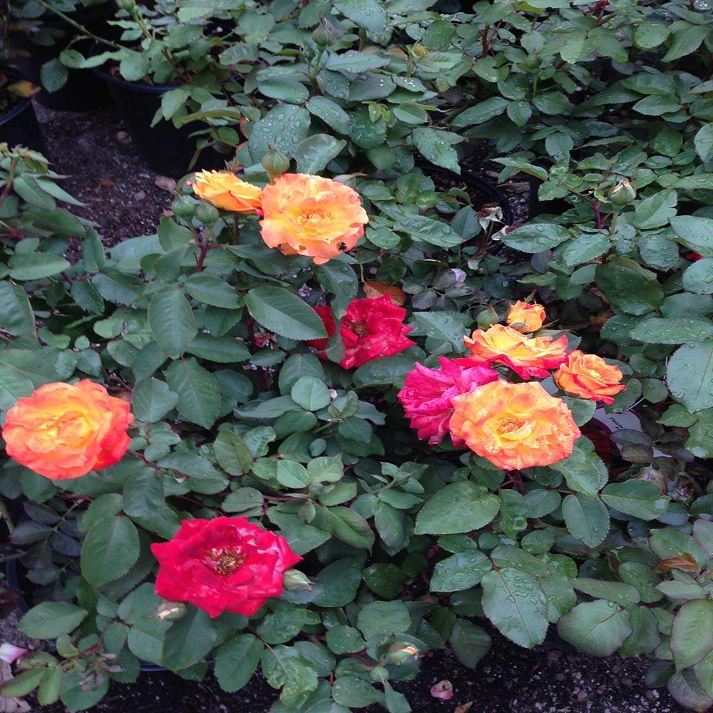 OnlinePlantCenter 2 gal. Bicolor Yellow and Orange Pinata Climbing Rose Plant