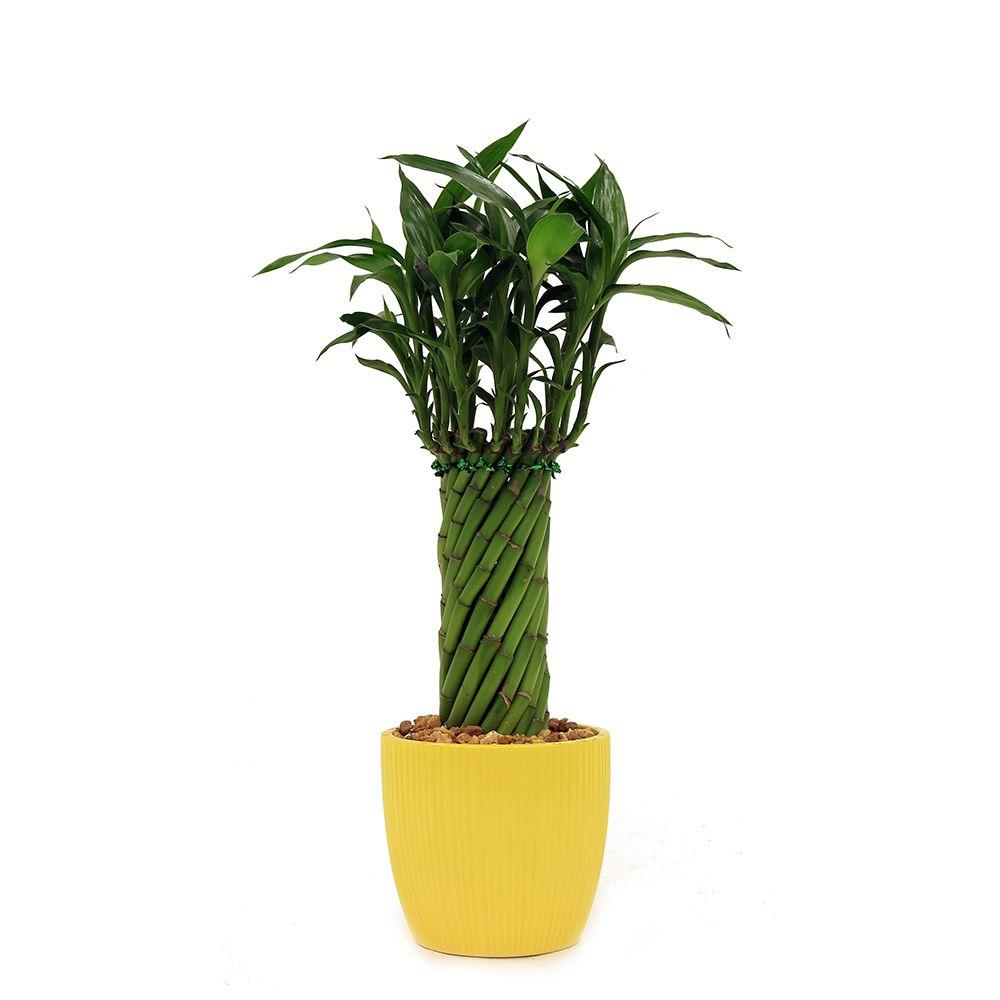 Bamboo - Indoor Plants - Garden Plants & Flowers - The Home Depot