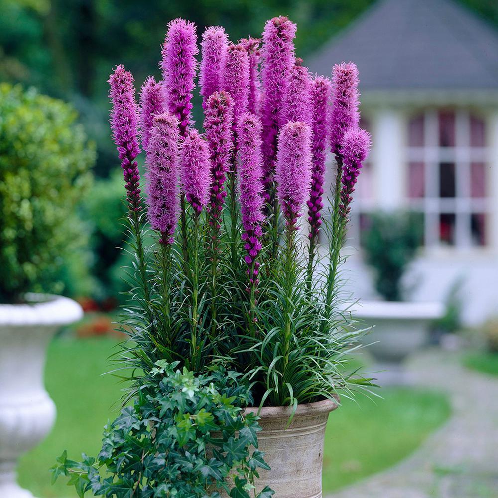 5 Blazing Star ~ Liatris Spicata Bulbs Purple Perennial