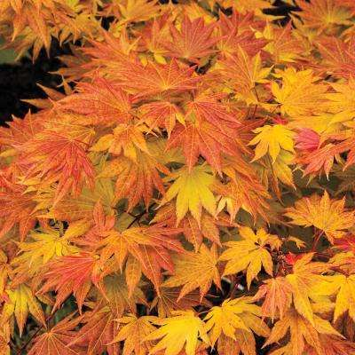 3 in. Pot Yellow-Green Foliage Autumn Moon Japanese Maple (Acer) Tree Live Potted Tree (1-Pack)