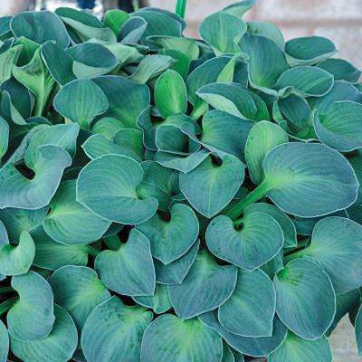 Blue Mouse Ears Hosta, Live Bareroot Plant, Blue Foliage Perennial (3-Pack)