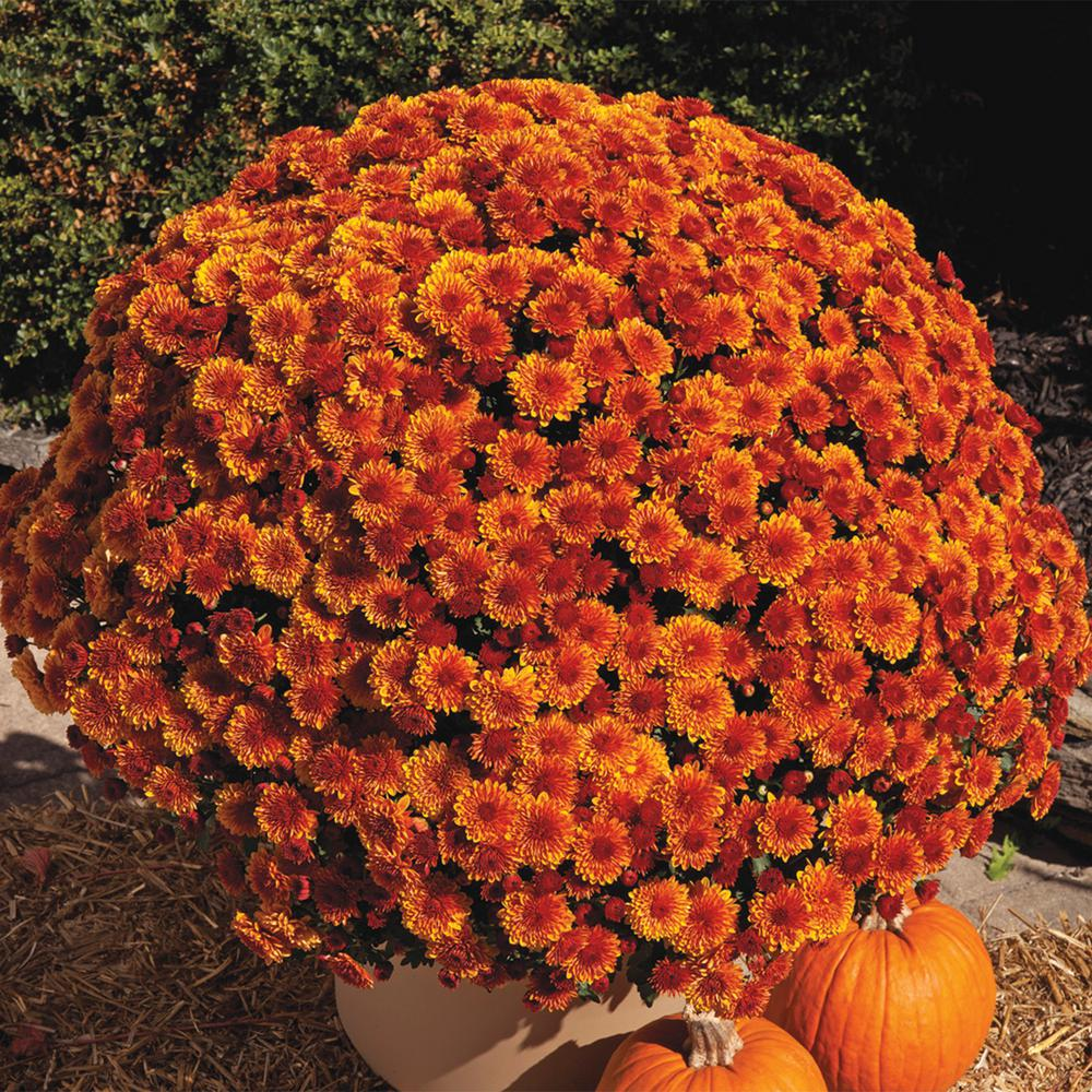 Pot Spicy Orange Garden Mum Chrysanthemum Orange Flowers Live Perennial Plant (1-Pack)