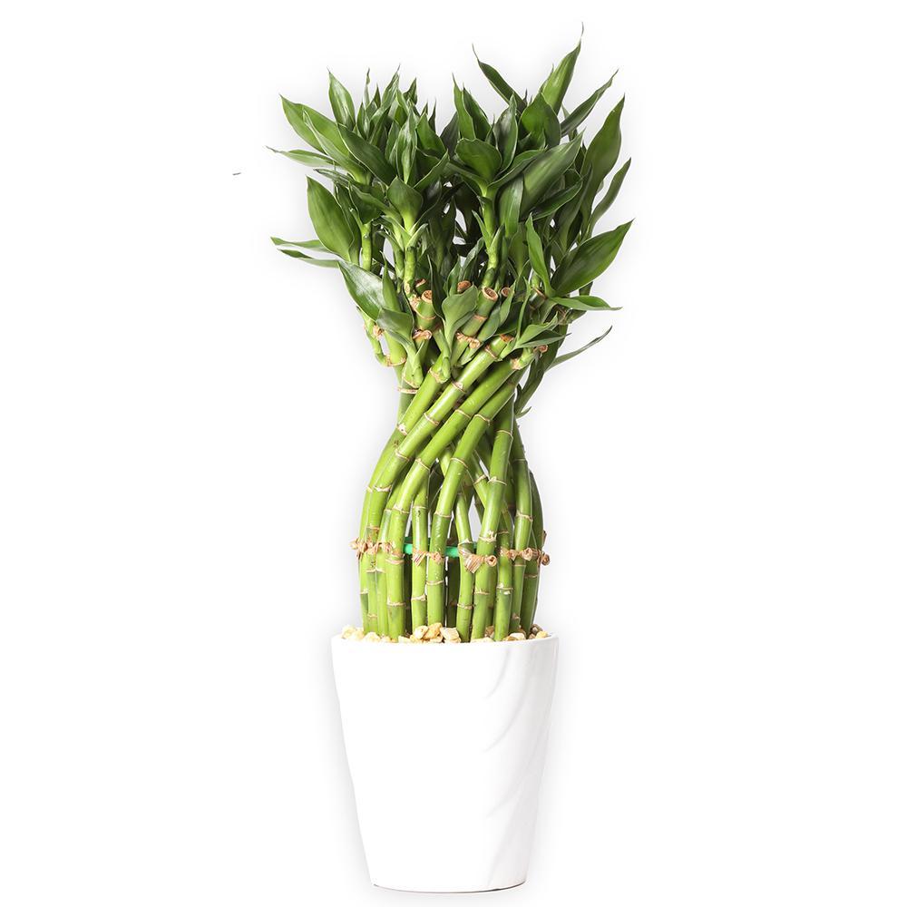 Medium Lucky Bamboo Flower Braid in 4.5 in. Samba Horizontal White