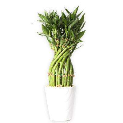 medium lucky bamboo flower braid in 45 in samba horizontal white ceramic - White Flowering House Plants